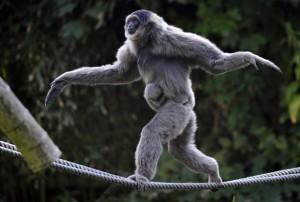 Gibbone equilibrista - Repubblica.it