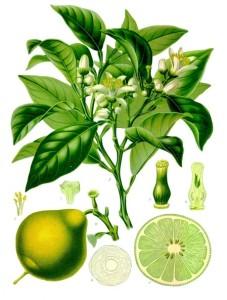 Il bergamotto in una illustrazione della fine del XIX secolo.