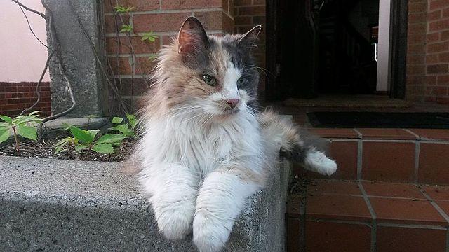 Una gattina tricolore a pelo lungo (foto wikipedia)
