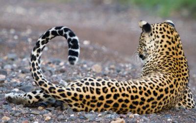 Turing tra i leopardi