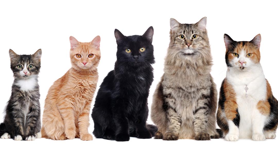 La genetica del pelo del gatto