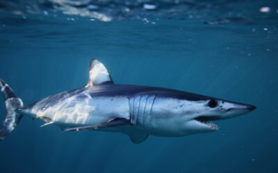 Particelle di squali poliglotti
